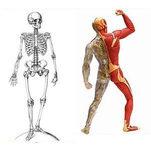Что движет скелетом ?