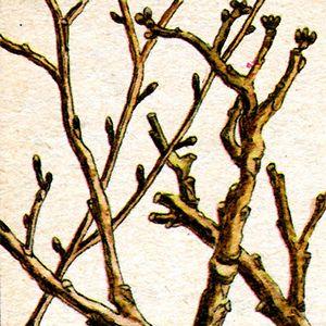 Весняне оздоровлення молодими гілочками та корою дерев